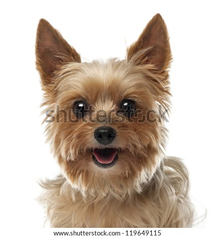 Close-up of Yorkshire Terrier, 9 years old, looking at camera against white background - stock photo