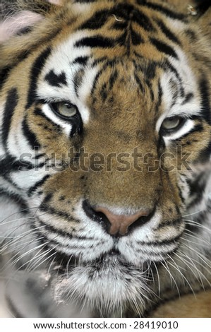 Close up of young adult tiger's face in a zoo. - stock photo