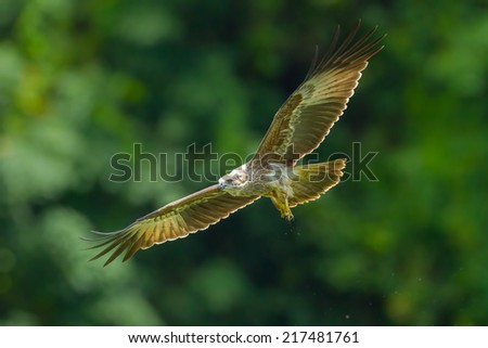 Close up of Young Brahminy kite(Haliastur indus) flying in the sky in nature of Thailand - stock photo