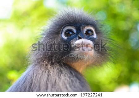 Close-up of Young Dusky Leaf Monkey , focused on eyes. - stock photo