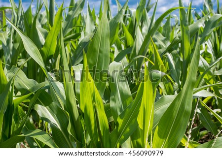 close up of young maize plants against blue sky