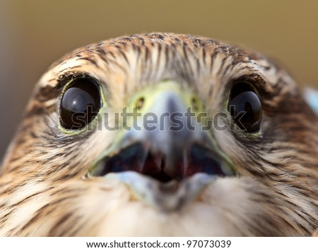 Close up of young Merlin in scenic Saskatchewan - stock photo