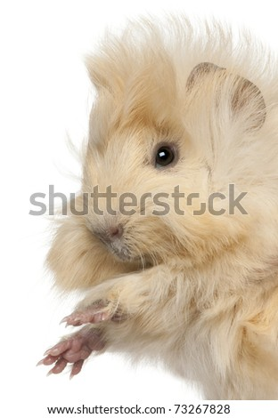 Close-up of young Peruvian guinea pig, 2 months old, in front of white background - stock photo
