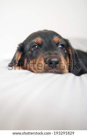 Close Up of Young Rottweiler Mix Puppy Laying on Human Bed with Striped Sheets - stock photo