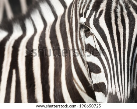 Close-up of zebra head and body with beautiful striped pattern - stock photo