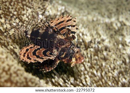 close up of zebra lionfish on coral reef