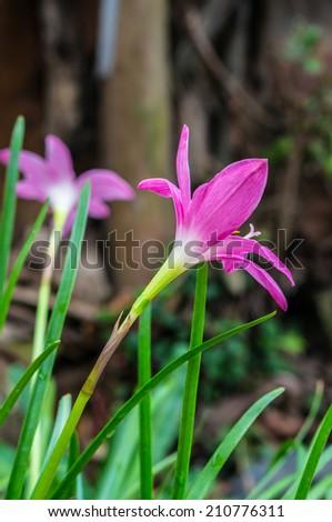 close up of Zephyranthas rosea flowers - stock photo