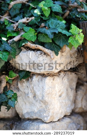 Close up old stone wall overgrown with ivy - stock photo