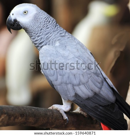 close-up on a African Grey Parrot's head  - stock photo