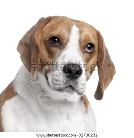 close-up on a Beagle's head (2 years old) in front of white background