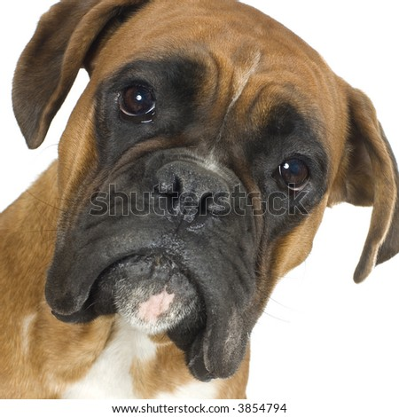 close-up on a Boxer in front of a white background - stock photo
