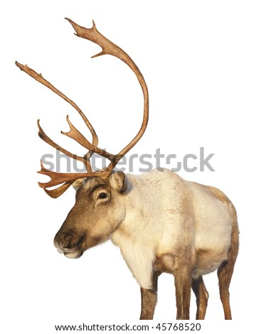 Close-up on a caribou reindeer at sunset looking at camera isolated on white background