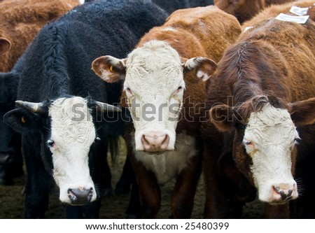 close up on a cows in uruguay farm land
