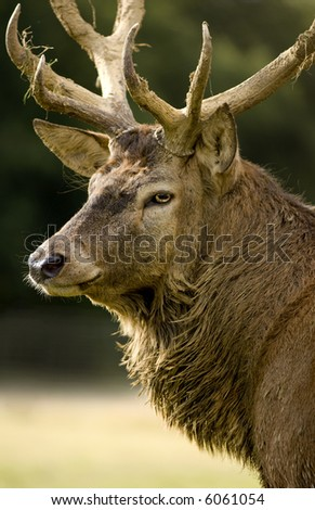 close-up on a deer