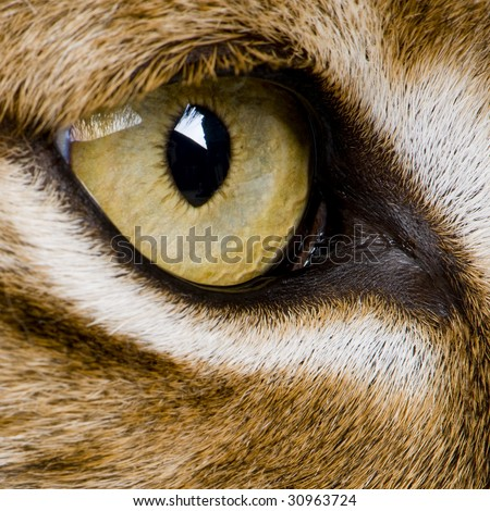 close-up on a feline' eye - Eurasian Lynx - Lynx lynx (5 years old) in front of a white background - stock photo