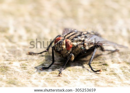 Close-up on a Flesh-fly ( Sarcophaga carnaria ) - stock photo