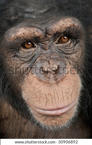 Close-up on a head of a Young Chimpanzee - Simia troglodytes (5 years old) in front of a white background - stock photo
