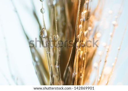 Close-up on a head of wheat covered in tiny water droplets. - stock photo