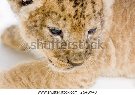 close-up on a Lion Cub (3 weeks) in front of a white background. All my pictures are taken in a photo studio.