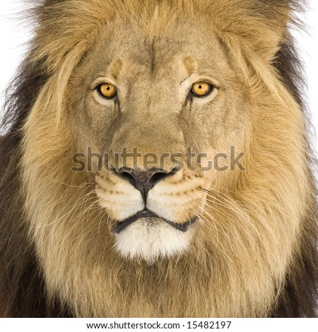 Close-up on a Lion's head (8 years) - Panthera leo in front of a white background - stock photo