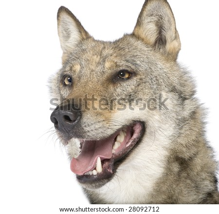 close-up on a old European wolf - Canis lupus lupus in front of a white background