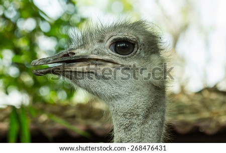Close-up on a ostrich's head  - stock photo