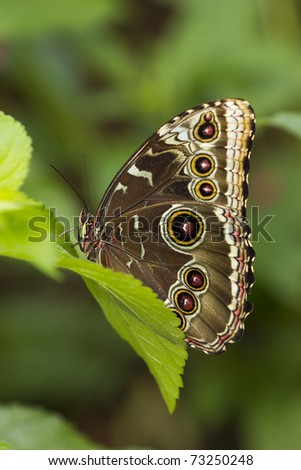 Close up on a owl  Butterfly resting on a leaf. - stock photo