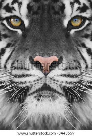 close-up on a Tiger's face - stock photo