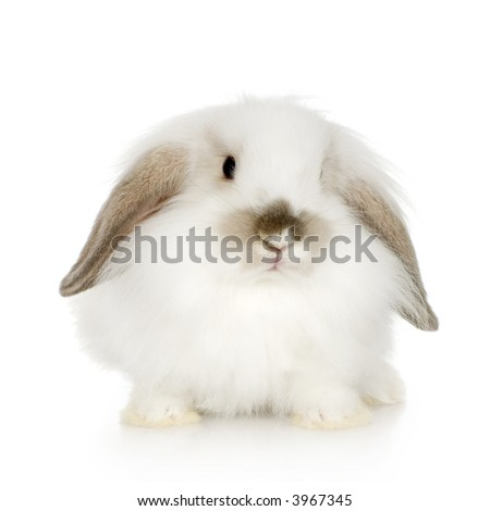 close-up on a white Lion headed lop rabbit in front of a white background and looking at the camera - stock photo
