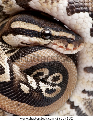 Close up on a Young Python regius (10 months old) in front of a white background - stock photo