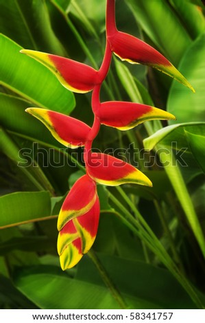 Close up on beautiful tropical plant red heliconia - stock photo