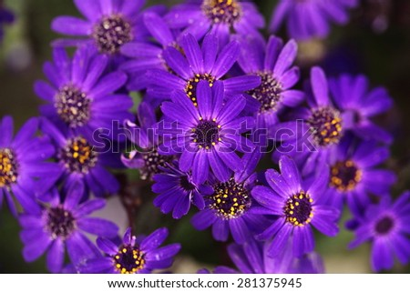 close-up on blue daisies - stock photo