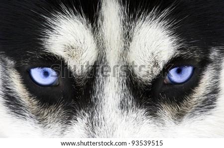 Close up on blue eyes of a dog - stock photo