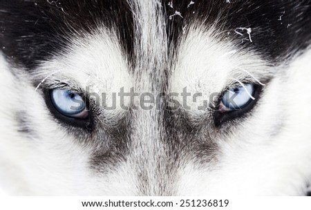 Close up on blue eyes of a husky dog - stock photo