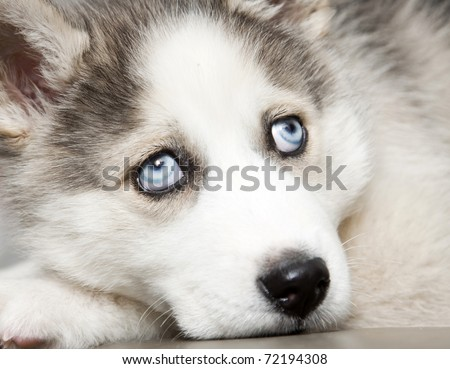 Close up on blue eyes of cute siberian husky puppy - stock photo