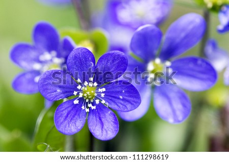 Close-up on blue flowers - stock photo
