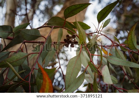 Close up on eucalyptus branch with flower buds  - stock photo
