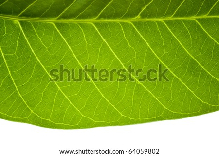 Close up on green leaf texture on white background - stock photo