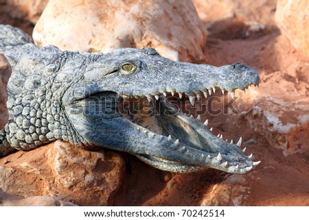 Close up on large nile crocodile head showing his jaws
