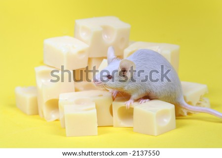 close up on little mouse and cheese on yellow background - stock photo