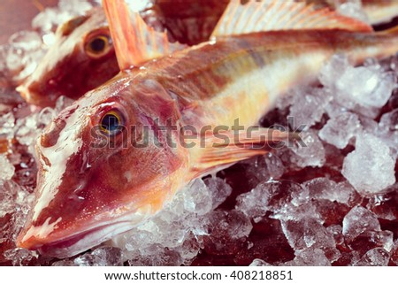 Close up on pair of dead bony raw red gurnard fish on ice ready to be prepared for eating - stock photo