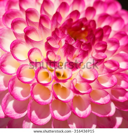 Close-up on Pink Dahlia flower with burgundy veins on the petals, abstract floral background. - stock photo