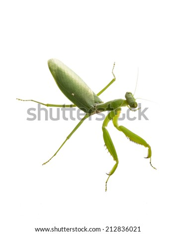 Close up on preying mantis, isolated on white - stock photo