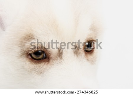 Close up on red eyes of cute siberian husky puppy - stock photo
