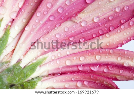 Close up on red rose with water drops  - stock photo
