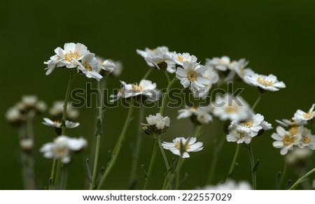 Close up on serbian yarrow, achillea serbica - stock photo