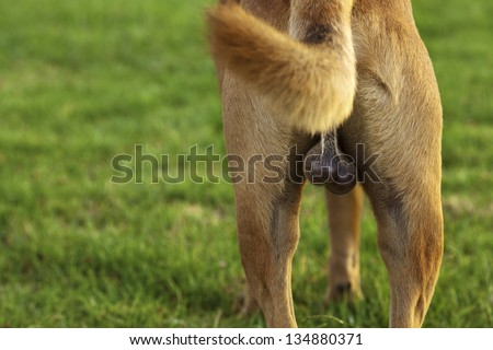 Close up on the back side of a light brown dog, featuring its dark brown (though fair haired) testicles proudly displayed to the camera; on the blurred background of lush green grass in the park. - stock photo