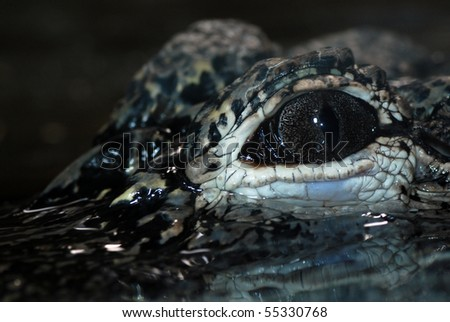 Close up on the eye of a Chinese Alligator (Alligator sinensis). - stock photo