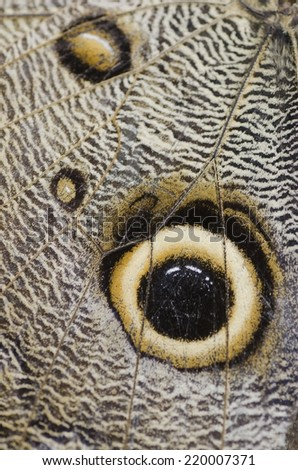 Close up on the wing of an owl butterfly or owl moth (Caligo Memnon).   - stock photo