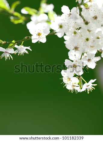 close up on twig of beautiful, blooming white flowers - stock photo